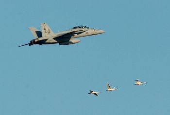 A Navy jet has a near miss with three tundra swans while conducting a test over-flight at the Navy's preferred OLF site.