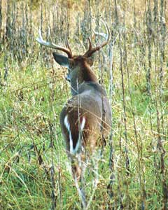 Lifetime buck carolina sportsman content la for Louisiana lifetime hunting and fishing license