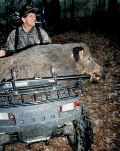 A hunter wouldn't want to meet this porker without a weapon.