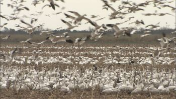 Thousands of snow geese fly off Pungo and Phelps lakes each day from December through March, posing a threat to low-flying aircraft.