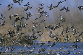 Sportsmen have a chance to speak their minds at the WRC�s waterfowl hearings during August.