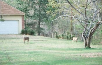 Whitetails in North Carolina have become accustomed to humans, and