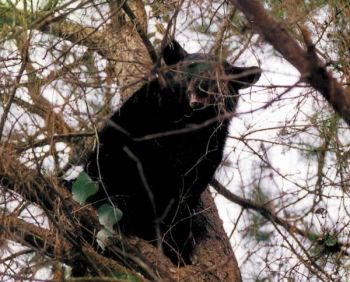 When a bear climbs a tree, it�s usually a youngster. Older bears sometimes fight pursuing hounds or simply keep walking deeper into the woods.