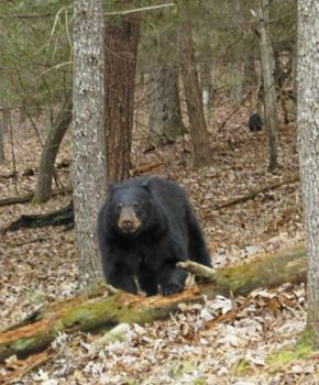 Hunters can use mineral blocks to attract deer, but bear hunters can�t hunt near �processed� foods, such as mineral blocks. Dog hunters are prohibited from releasing dogs near processed foods but can release bear hounds near natural foods.
