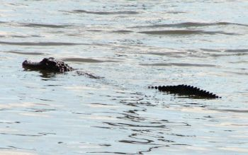 S.C. will have an alligator hunting season beginning in the fall of 2008.
