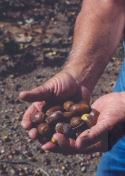 Acorns are one of the favorite foods of many types of wildlife, including wild turkeys, and the NWTF is offering free oak seedlings to current members and new members.