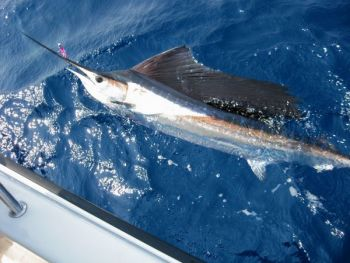 Sailfish action can be sizzling during September off the N.C. coast.