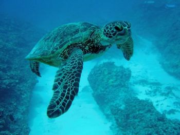 Green sea turtles often are caught by gill nets in N.C. coastal waters.