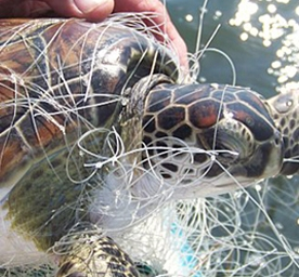 A proposed closure of much of the state's coastal waters to large-mesh gill nets is a temporary fix to the problem of threatened sea turtles becoming entangled. However, the North Carolina Division of Marine Fisheries proposal would be lifted if the feds grant a statewide Section 10 permit.