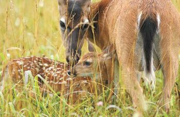 The survival rate of a deer fawn depends not only on nutrition but the mother�s maternal guidance. Her vocal commands play a major role in teaching the fawn when and where to bed.