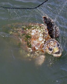 New gill-net regulations go into effect May 15 to minimize the danger to sea turtles.