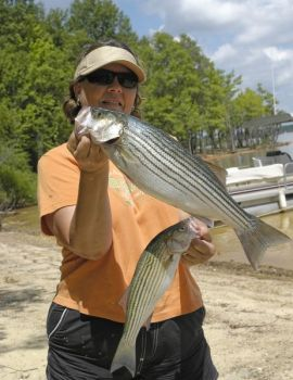 Striped bass are attempting to spawn in the Yadkin chain of lakes, especially behind the Tuckertown dam.