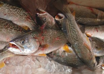 State and federal managers agree that gray trout are overfished, and a recent state decision to ignore a federal mandate aimed at reducing the catch of the species could result in the complete closure of the fishery in North Carolina waters.