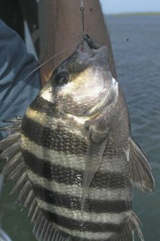 Sheepshead fishing is starting to heat up at southeastern N.C.