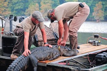"Guide Jay Iadonisi (right) and Scott Emery secure a 10-foot alligator after it was harvested. Iadonisi is part of a ""cottage industry"" of guides and meat processors that has been spawned by the state's open season."