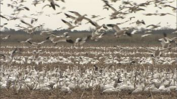 Snow geese fly off a field adjoining the Pocosin Lakes National Wildlife Refuge.