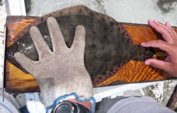 A flounder in N.C. must now measure 15 inches to be legal to keep