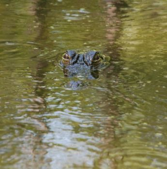 A daytime gator sighting is a prime target for a hunter with an SCDNR tag