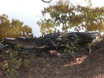 Hunting S.C. gators requires a special SCDNR permit