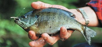A fly-rod caught bream can be as fun — and tasty — as anything that swims in freshwater.
