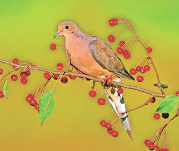 Most of South Carolina's doves are residents, remaining in the state year-round.