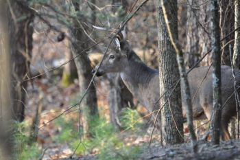 Several unpermitted deer were killed in September by NCWRC officers in keeping with a policy to prevent the spread of chronic wasting disease into North Carolina.