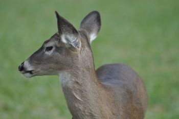 White-tailed deer held in captivity are at the center of a controversy involving the N.C. Wildlife Commission.