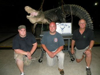 This 771-pound gator was taken recently during the alligator hunt on Santee Cooper.