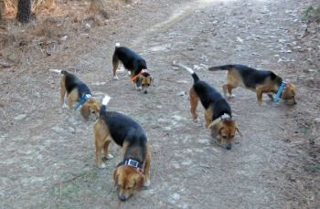 A pack of beagles can be composed of anywhere from five to 12 dogs, as long as they run a rabbit at the same pace.