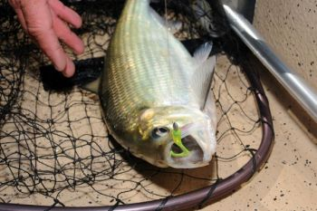 American shad can grow up to 5 pounds and anglers catch them at central-coast rivers and streams each spring.