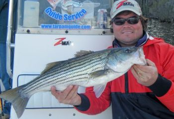 Anglers fishing with Richard Andrews, a guide from Little Washington, are experiencing great topwater striped bass action at the Pamlico River.