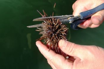 Fiddler crabs and trimmed sea urchins are top sheepshead baits.