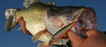 Any number of factors may go into a bass striking a lure when it's not hungry.
