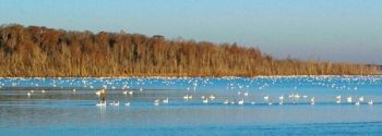 Wintering waterfowl like these tundra swans may not have to worry about flying into 497-foot-tall wind mills, as a Chicago-based energy company has put on hold its plans to build a 11,000-acre wind farm in Beaufort County, just two miles from the Pocosin Lakes National Wildlife Refuge.