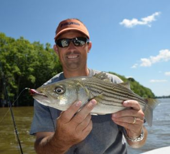 The author caught this striper in the lower Roanoke River near Plymouth on a streamer fly.