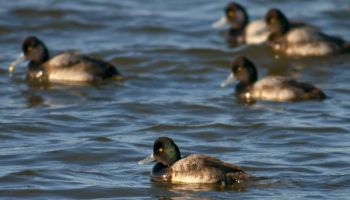 According to the U.S. Fish and Wildlife Service, scaup numbers are up better than 20 percent over last year.