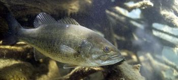When deep water lacks oxygen in the hottest weather, bass will move shallow, even though the water is hot.