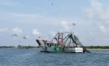 Two NCDMF reports indicate that millions of juvenile gray trout and croaker are killed in shrimp trawl nets annually.