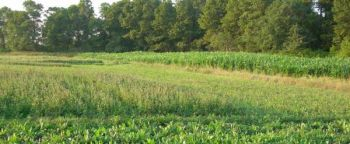 Stagger-planting crop mixes in the same food plot can provide season-long nourishment for wildlife.