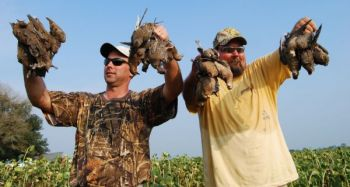 Public dove fields, many planted in corn, sunflowers and other grains, are scattered across the state to attract doves.