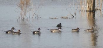 Waterfowl impoundments at Butner-Falls of Neuse Game Lands are planted in the spring and flooded in the fall to attract waterfowl of all kinds.