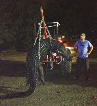 This 13-foot, 900-pound alligator fell victim to Benjamin Rader and three hunting buddies.
