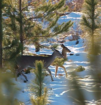 Deer will feed more often and more heavily after a snowstorm because much of their food is hidden and they expend lots of energy in the cold.