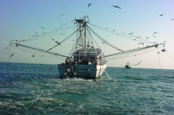The N.C. Marine Fisheries Commission has voted to take a long, hard look at the way shrimp are harvested in North Carolina waters, especially as it relates to by-catch of non-targeted fish species.