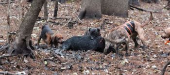 The SCDNR schedules and organizes hog hunts on North Island in February for hunters who want to chase hogs with dogs.