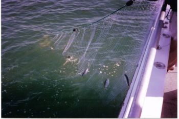 Gill-netting is illegal in North Carolina�s inland waters.