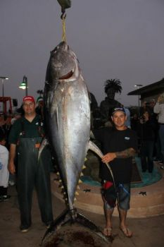 This 445-pound yellowfin tuna is the biggest of the species ever landed, but it has been disqualified from world-record discussion because IGFA rules were broken.