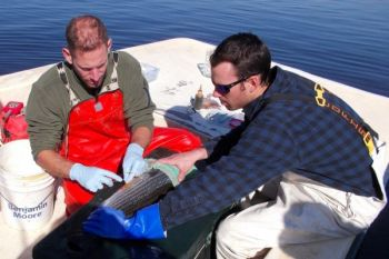 Two NCDMF biologists do some minor surgery on a striped bass caught in the Cape Fear Riverwatch tournament last weekend, inserting a tag that will help them understand striper movements in the river.
