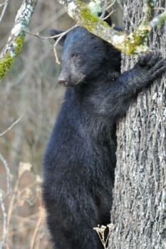 It may not happen for a while, but North Carolina hunters may eventually have to have special tags to harvest black bears.
