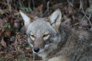Extend your hunting season by targeting coyotes.